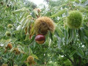 american chestnut nut and spiny outer casing
